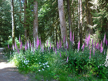 Foxgloves at the The Charters River Salmon Interpretive Centre