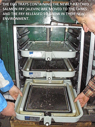 Egg trays containing newly hatched salmon fry.